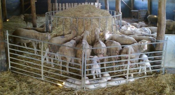 Takarmánykiegészítő nyalótömbök juhoknak